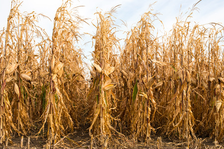 corn stalk: Feed Corn drying in the field
