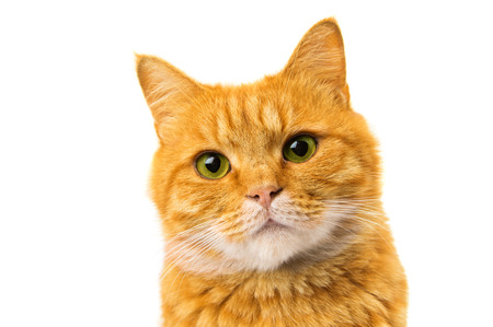 ginger cat isolated on white background photo