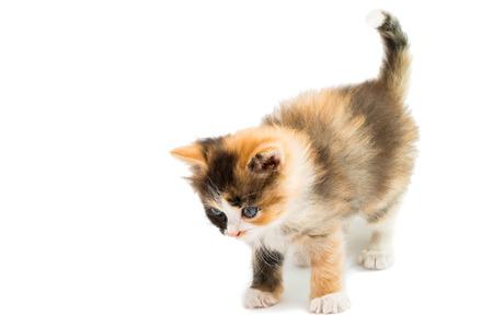 little kitten on white background photo