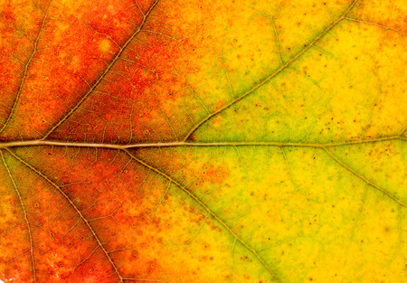closeup texture of autumn leaf photo