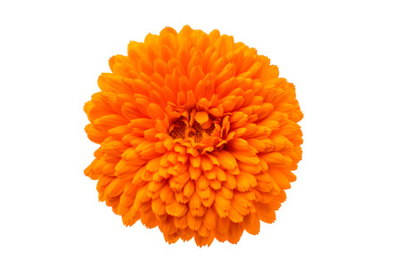 marigold (Tagetes) an a white background photo
