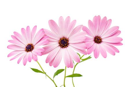 daisy flower: Osteospermum Daisy or Cape Daisy Flower Flower Isolated over White Background. Macro Closeup Stock Photo