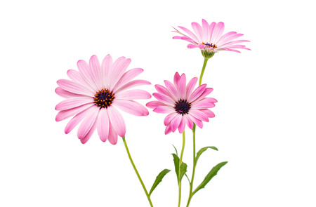 Osteospermum Daisy or Cape Daisy Flower Flower Isolated over White Background. Macro Closeup Banco de Imagens