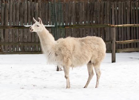 Lama in zoo photo