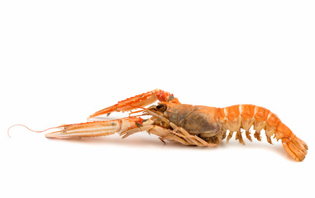 shrimp with pincers isolated on white background photo