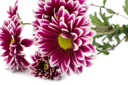 superb: A autumn chrysanthemum flower isolated white