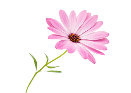 White and Pink Osteospermum Daisy