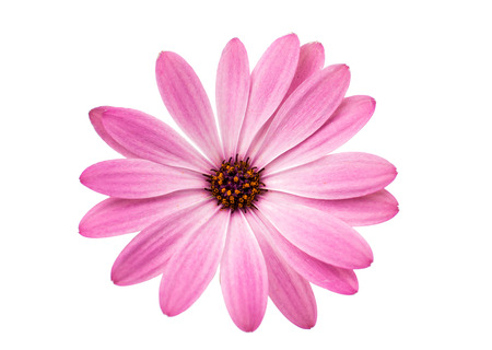 closeup of pink daisy with: White and Pink Osteospermum Daisy