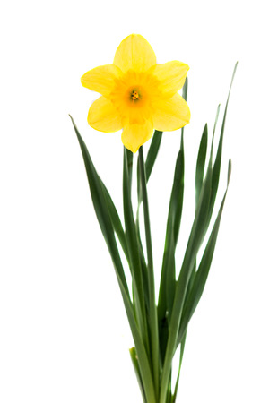 Daffodil on a white background 免版税图像