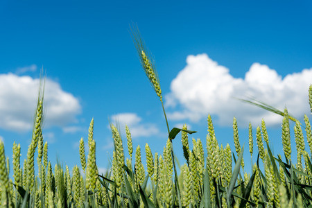 wheat field on a background of blue sky photo