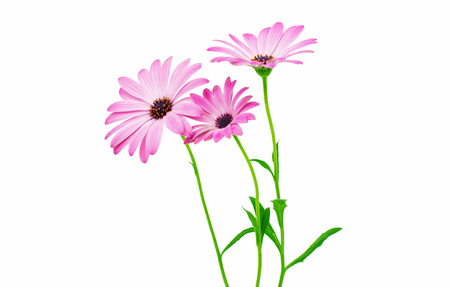 closeup of pink daisy with: White and Pink Osteospermum Daisy or Cape Daisy Flower Flower Isolated over White Background. Macro Closeup