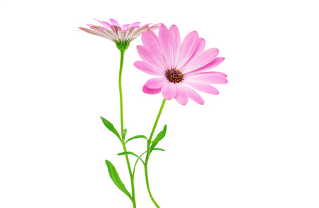 p�querette: Blanc et Rose Osteospermum ou Cap Daisy fleur fleur isol� sur fond blanc. Gros plan macro Banque d'images
