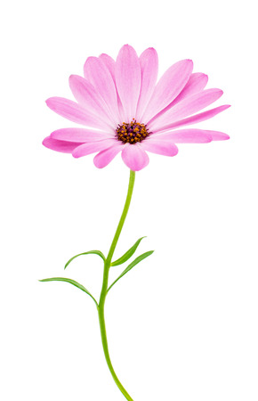 pink daisy: White and Pink Osteospermum Daisy or Cape Daisy Flower Flower Isolated over White Background. Macro Closeup