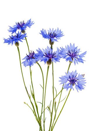 cornflowers: cornflowers flowers on a white background Stock Photo