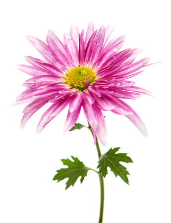 dalia: pink chrysanthemum on white background Stock Photo