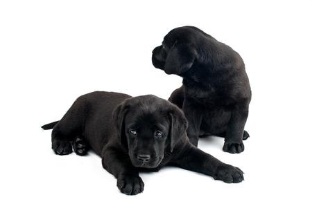 vigilant: labrador puppy on a white background