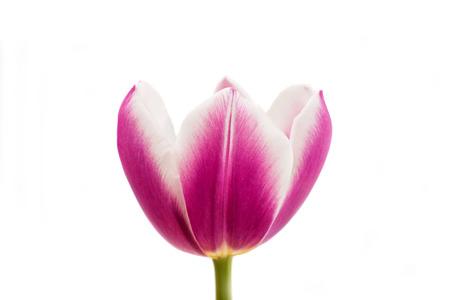 matherday: Pink tulip isolated on white background Stock Photo