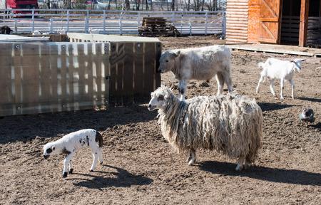 farmyard: lamb on the farmyard