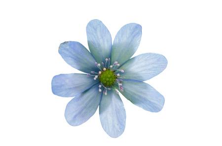 hepatica: Hepatica nobilis on a white background