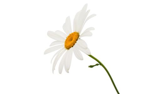 chamomile flower: chamomile flower isolated on white