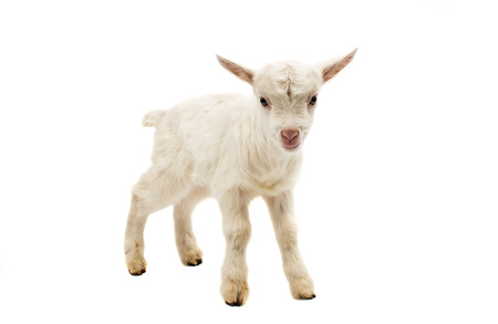 caprine: little white goat on a white background