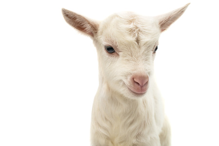 goat: little white goat on a white background
