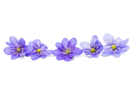 nobilis: Hepatica nobilis on a white background