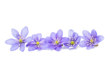 small flowers: Hepatica nobilis on a white background