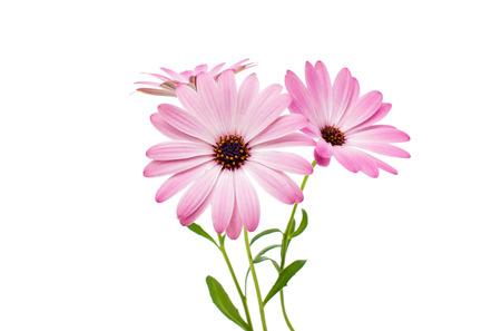 p�querette: Blanc et Rose Ost�ospermum Daisy ou Cape Daisy Fleur, isol�, sur fond blanc