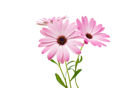 daisy pink: White and Pink Osteospermum Daisy or Cape Daisy Flower Flower Isolated over White Background