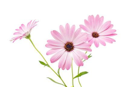 marguerite: Blanc et Rose Ost�ospermum Daisy ou Cape Daisy Fleur, isol�, sur fond blanc
