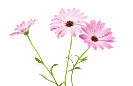 closeup of pink daisy with: White and Pink Osteospermum Daisy or Cape Daisy Flower Flower Isolated over White Background