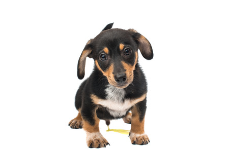 doxie: Dachshund puppy on a white background Stock Photo