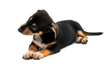 Dachshund puppy on a white background Stock Photo