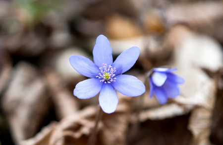 hepatica: Hepatica flowers in spring time Stock Photo