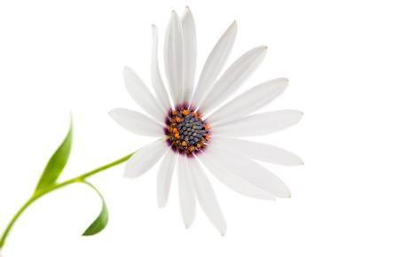 p�querette: Blanc Ost�ospermum Daisy ou Cape Daisy Fleur, isol�, sur fond blanc Banque d'images