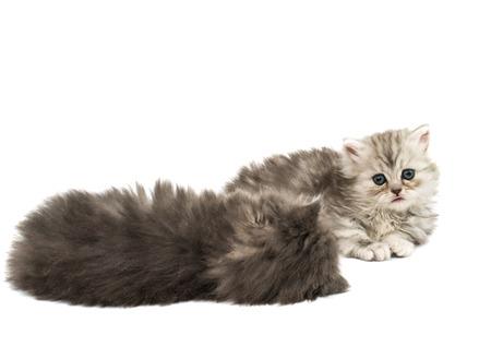 fluffy: hermosos gatitos suaves sobre un fondo blanco Foto de archivo