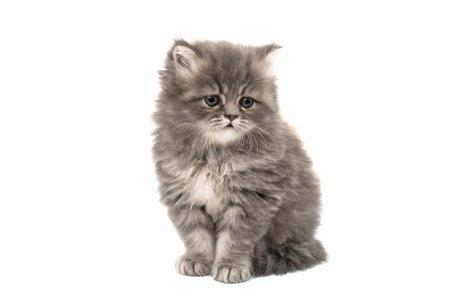 fluffy: hermoso gatito esponjoso sobre un fondo blanco Foto de archivo