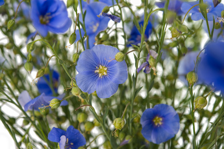flax flowers Banque d'images