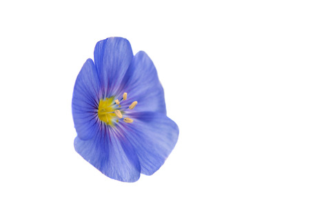 flax flower on a white background photo