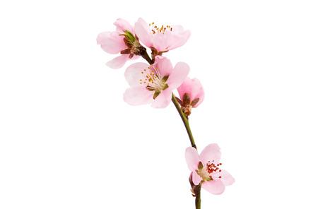 桜の花、白い背景で隔離のさくら花