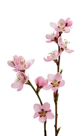 stamens: Cherry blossom, sakura flowers isolated on white background