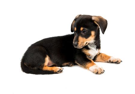 weenie: Dachshund puppy on a white background Stock Photo