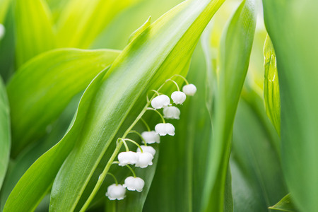 majalis: Lily of the valley - convallaria majalis