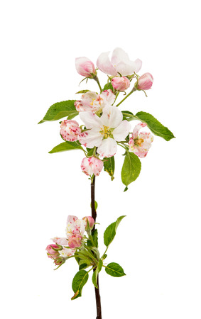 apple flowers on a white background Stock Photo