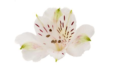 alstroemeria: Alstroemeria on a white background Stock Photo