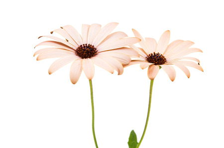 osteospermum: Osteospermum Daisy or Cape Daisy Flower Flower Isolated over White Background. Macro Closeup Stock Photo