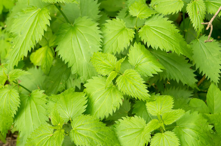 stinging  nettle: Green stinging nettle (urtica dioica) in garden Stock Photo