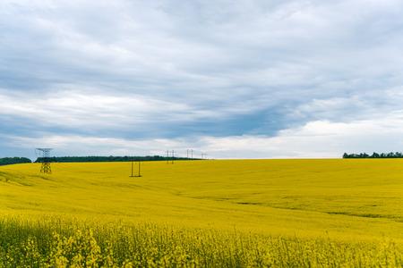 fenceline: A Canola crop, in full Spring flower