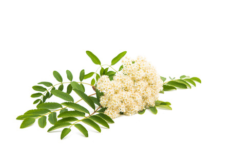 aucuparia: Rowan flowers on a white background